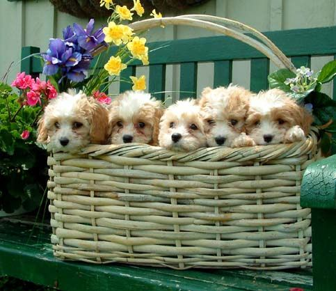 Cavachon puppies in a basket