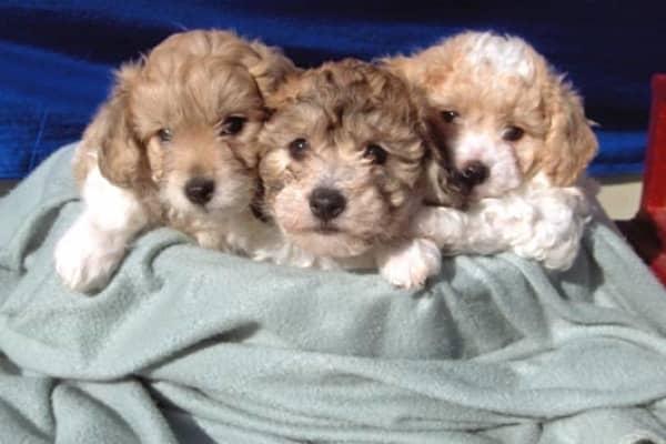 Cavachon & Cavanese Puppy Breeder Northern VA | Gleneden