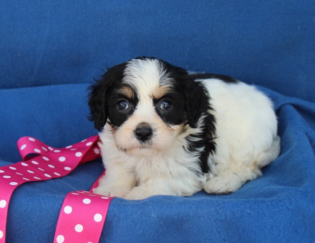 Parti-colored Cavachon Puppy