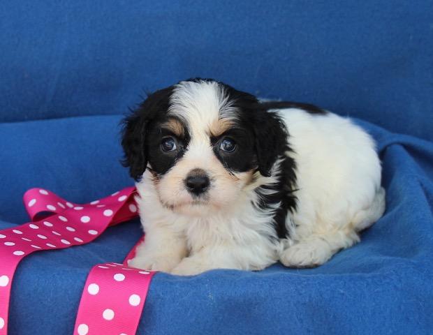 Parti-colored Cavachon Puppy