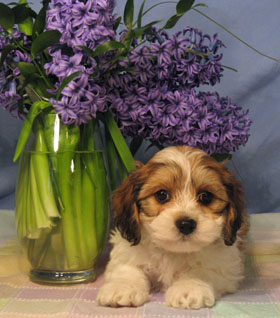 Cavanese Puppy with purple flowers